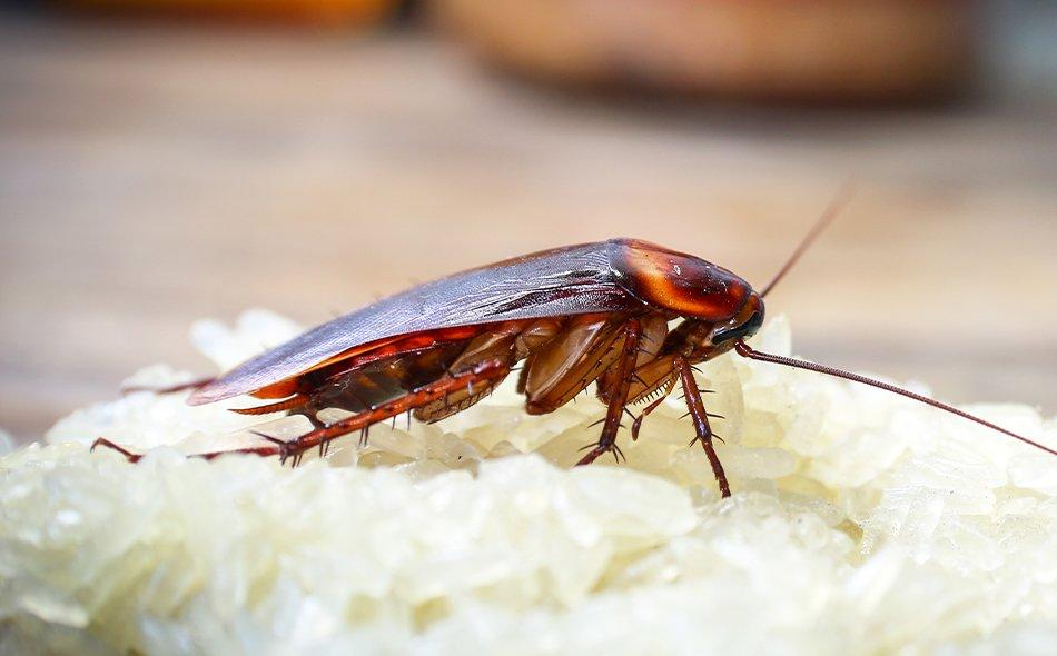 cockroach on rice