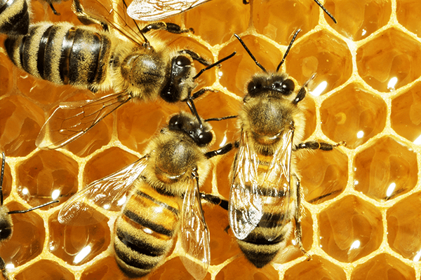 worker bees filling cells with honey in manatee county