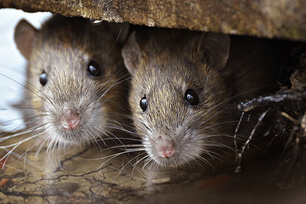 pair of rodents peering out from under a rock