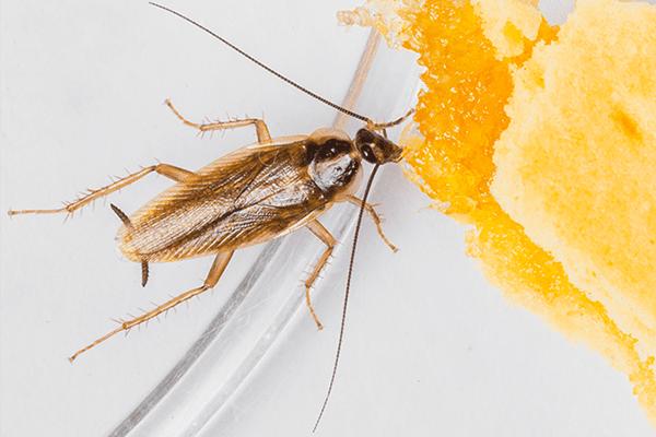 german cockroach feeding on food scraps