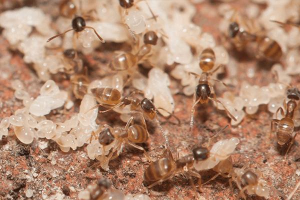 ghost ants crawling around a yard in bradenton