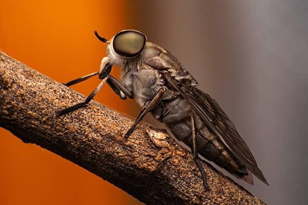 a horse fly on a tree branch outside in sarasota florida