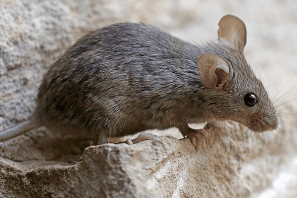 house mouse resting on a stone patio
