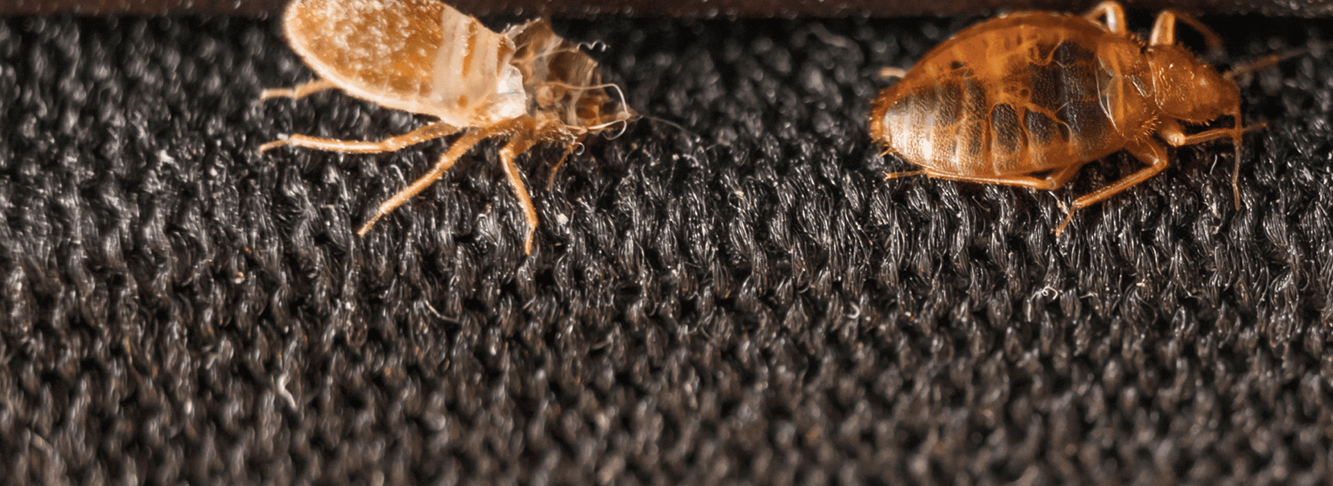 two bed bugs on a carpet in bradenton florida home