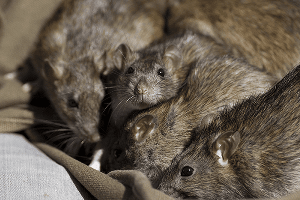a group of norway rats found in manatee county florida