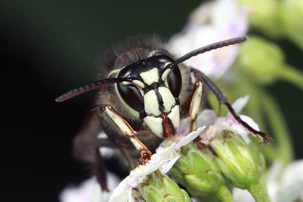 bald-faced hornet up close