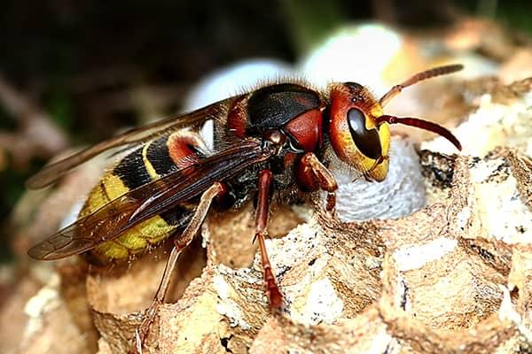 european hornet up close