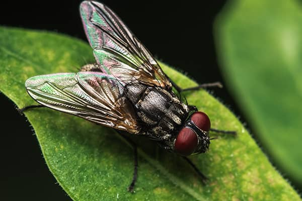 house fly up close