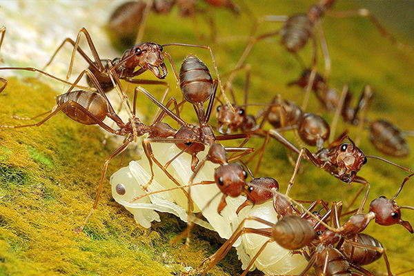 group of pharaoh ants moving a piece of food