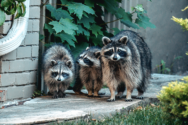 group of three raccoons looking for scraps