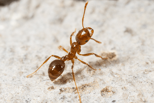 red fire ant walking in a suburban yard