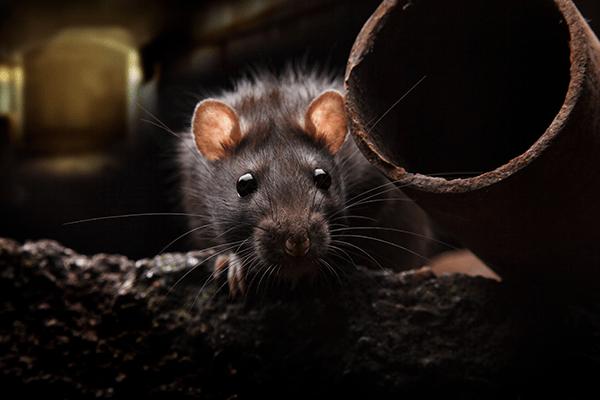 rodent hiding in a debris filled basement