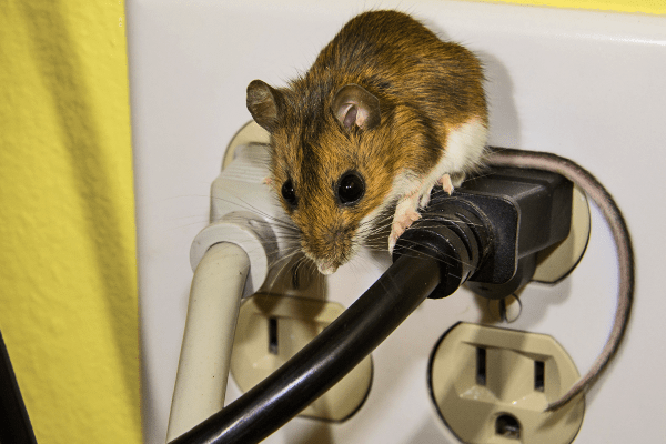 mouse standing on receptacle outlets in a southwest florida home