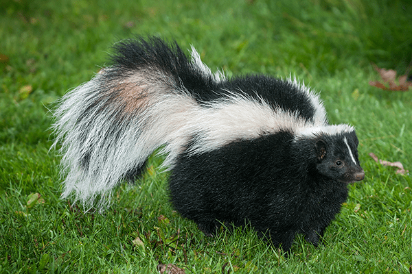 skunk in the yard of a manatee county resident