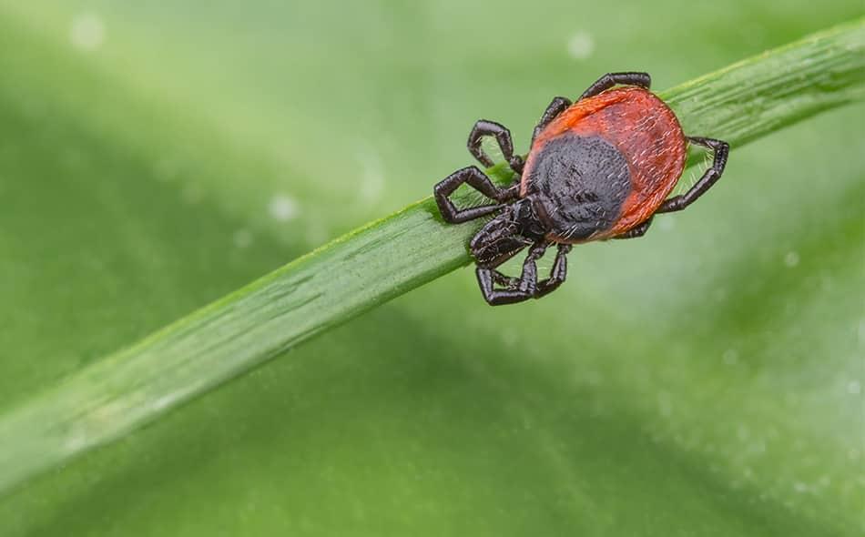 tick on  a piece of grass