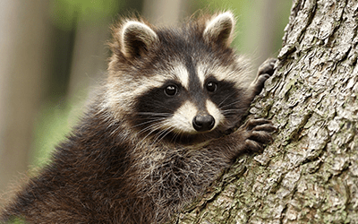 raccoon resting in a tree in a wooded area outside of bradenton