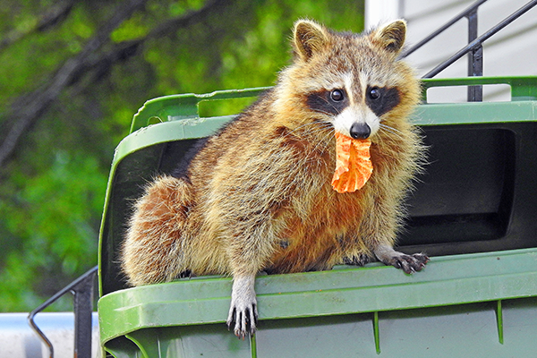 raccoon coming out of a trash can with food