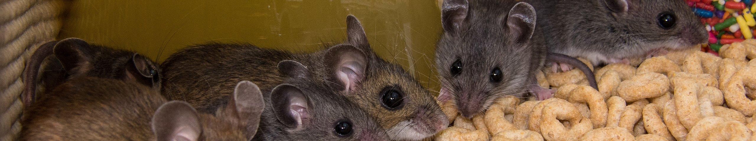 house mice in a pantry cabinet
