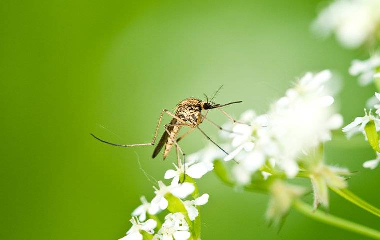 a mosquito landing on a white flower
