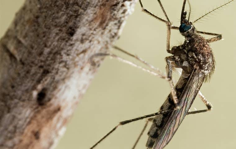 close up view of a mosquito on a branch
