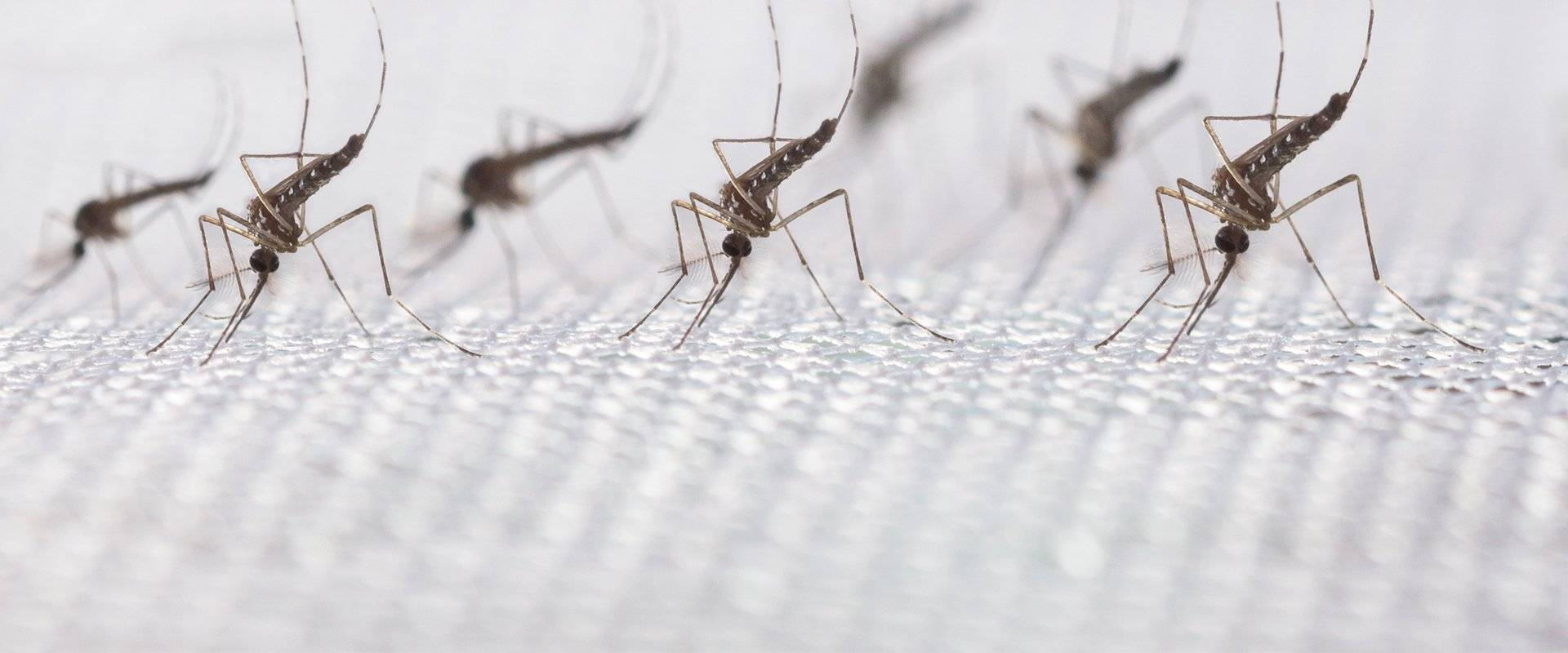 mosquitoes on paper towel