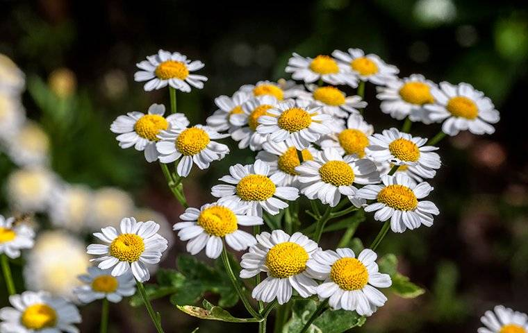 small white flowers called pyrethrum