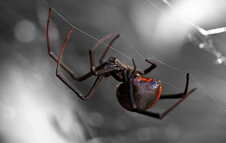black widow spider in a web