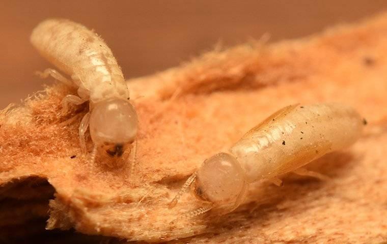 two drywood termites crawling on wood