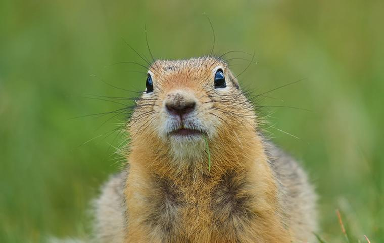 ground squirrel face up close