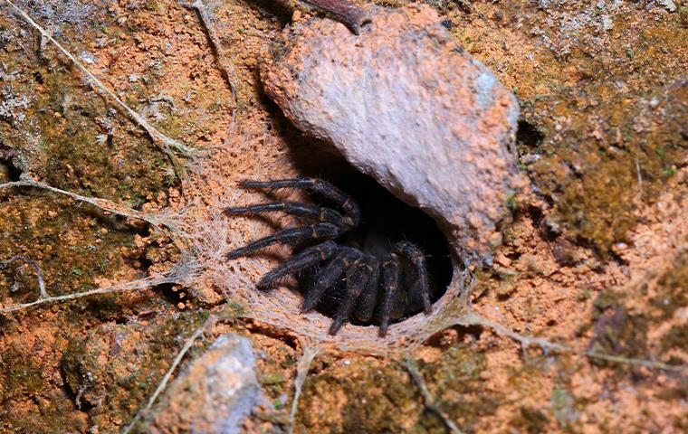 trapdoor spider in a hole