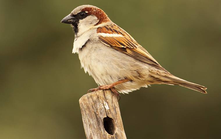 english sparrow on stick