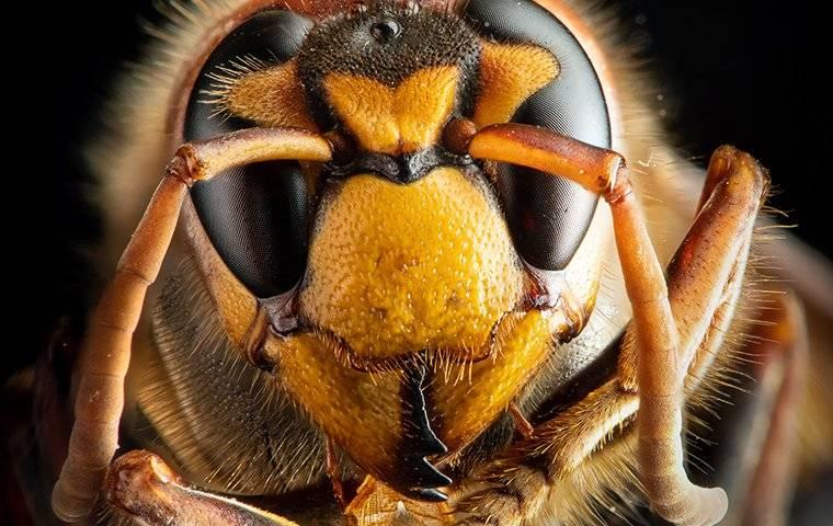 face of a hornet