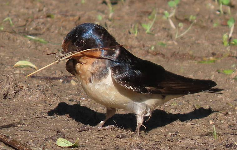 mud swallow on the ground