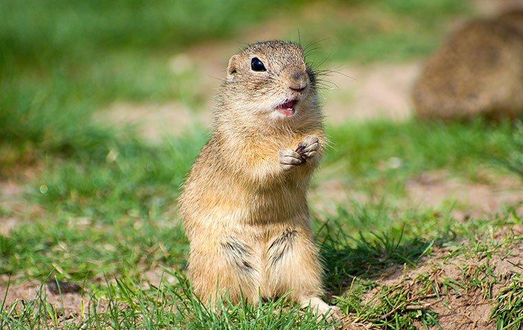 a gopher on the grass