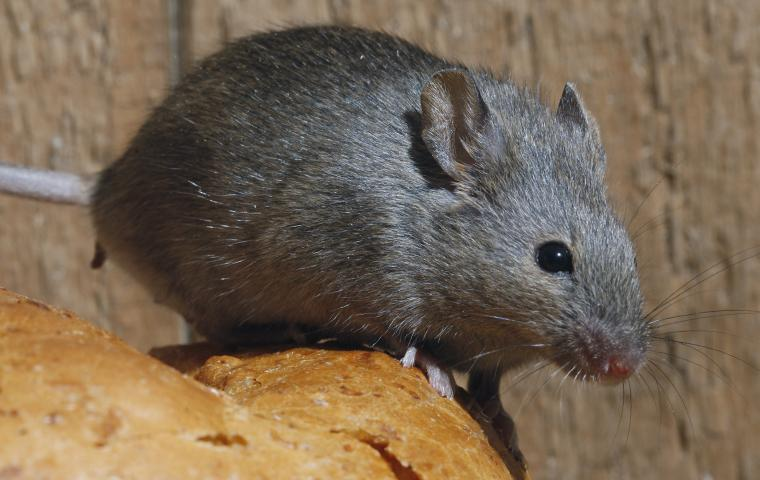 a mouse on bread