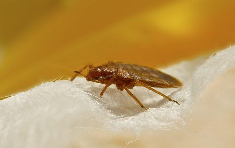 a bedbug on wool