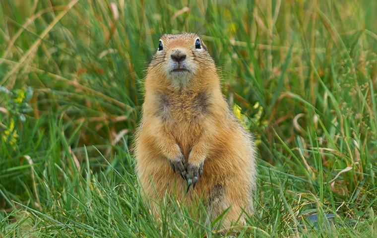 a gopher in the grass