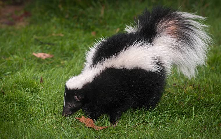 a skunk on the grass