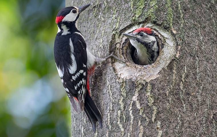two woodpeckers on a tree