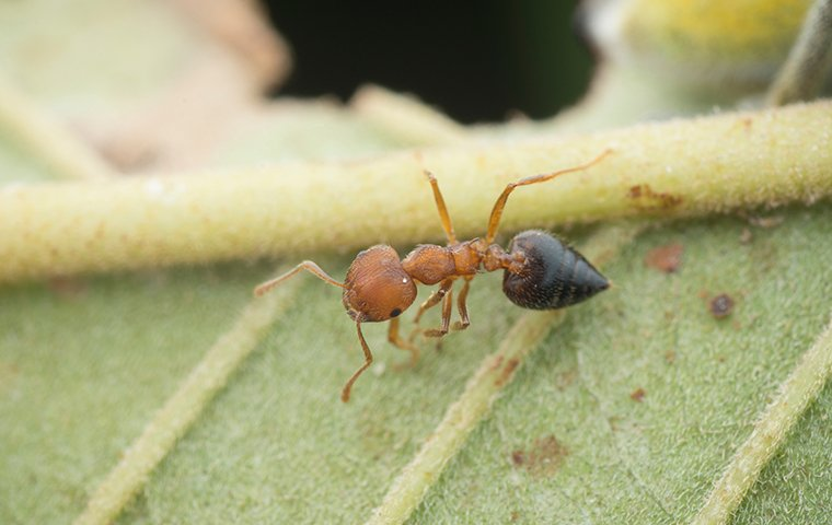 an acrobat ant crawling on a leaf outside of a home