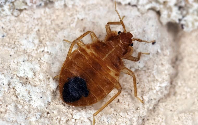 a bed bug crawling in the carpet