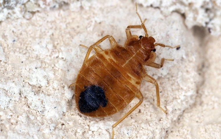 a bed bug stomach up on a mattress