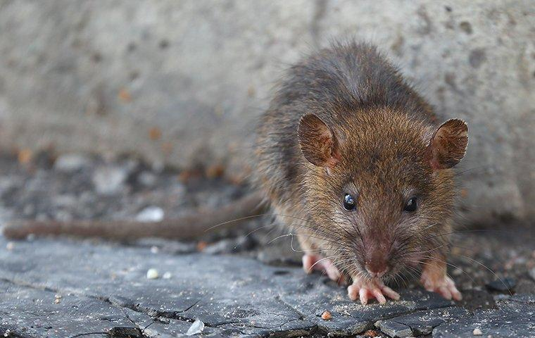 close up of brown rat near foundation