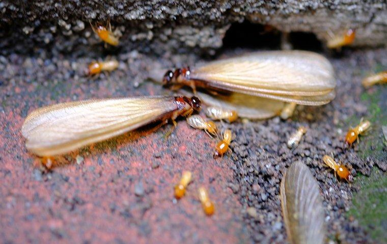 termite swarmers on a home