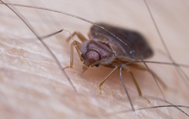 a bed bug crawling on human skin