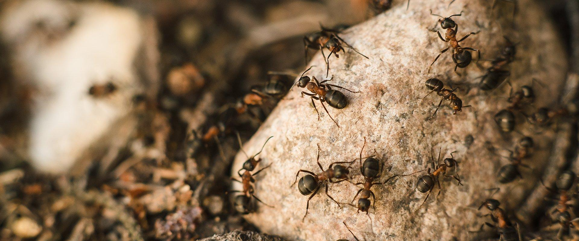 carpenter ants crawling on the ground outside of a home
