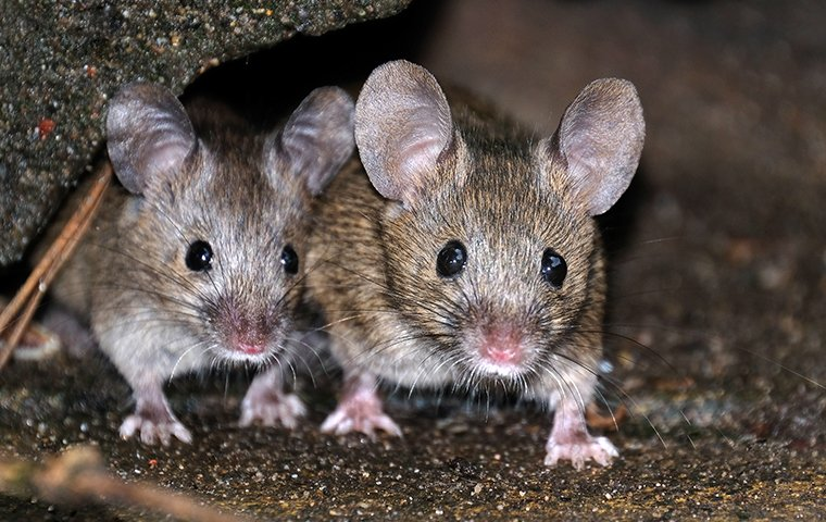 two mice outside of a home