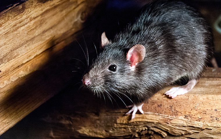 a rat crawling on a wooden structure inside of a home