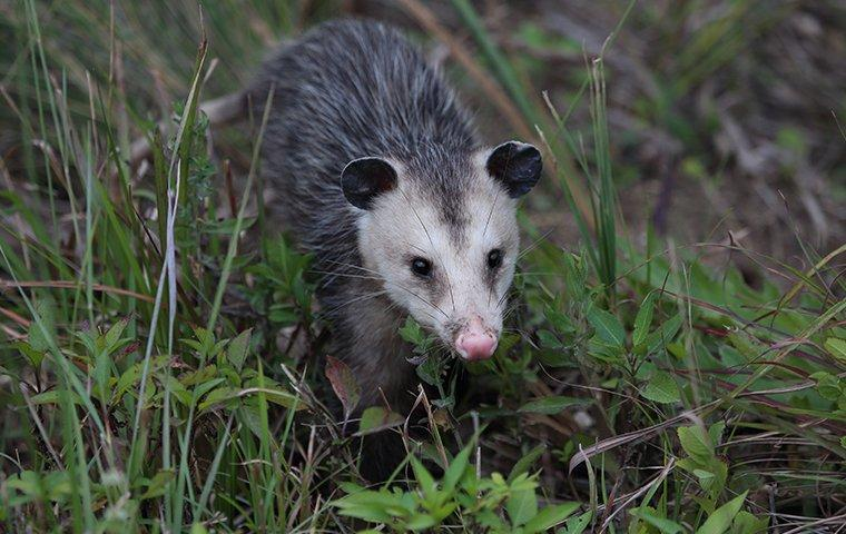 an opossum crawling in the grass outside of a home