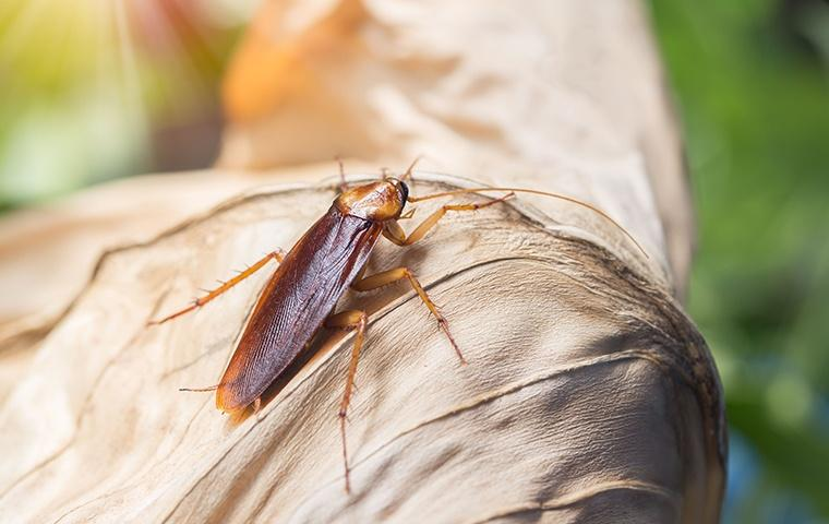american cockroach on a dried up leaf